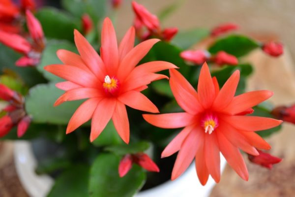 Рипсалидопсис, цветы