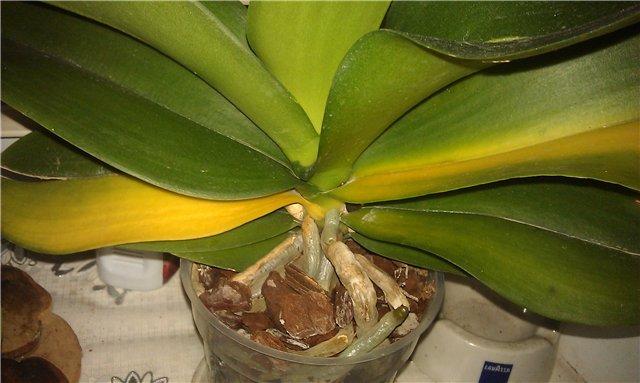 Желтеющие листья фаленопсиса