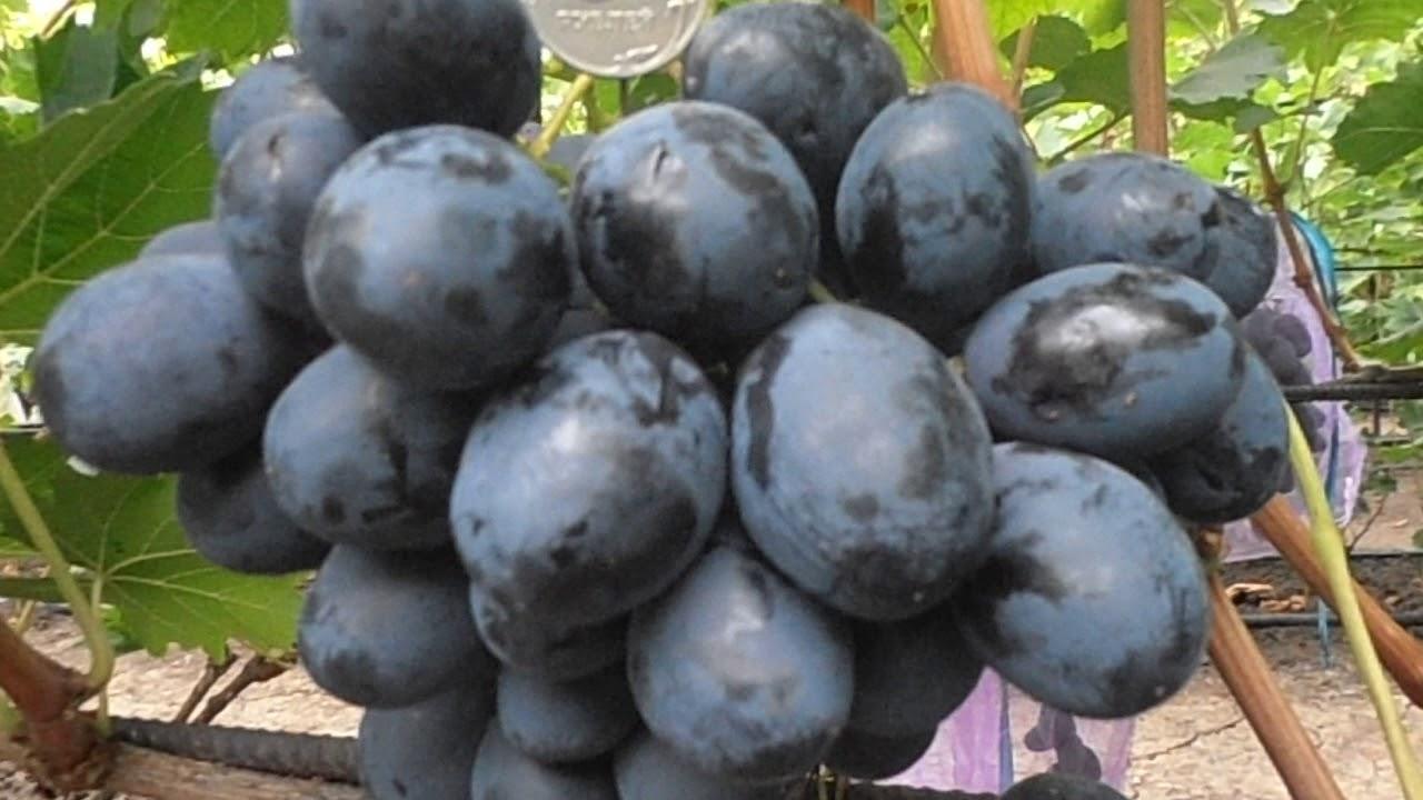 сорт винограда фурор фото и описание могут