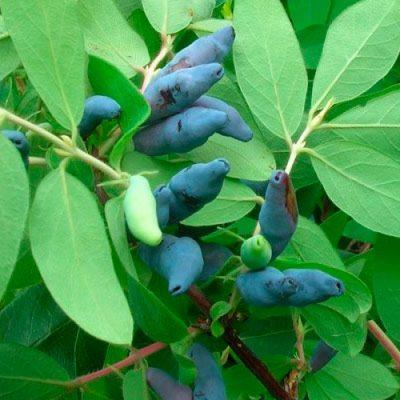 Плоды Томичка на ветвях куста