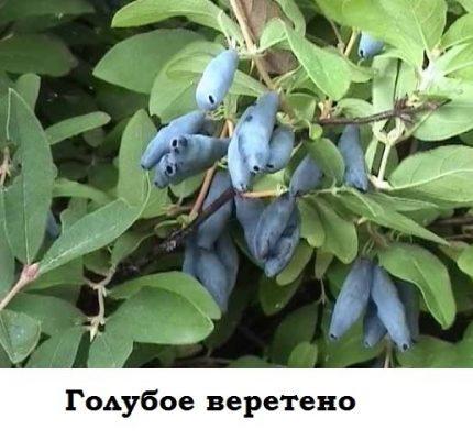 Плоды жимолости Голубое веретено на ветвях куста