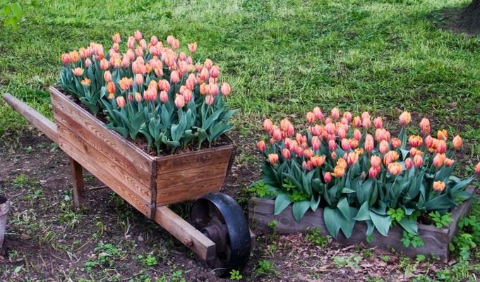 Когда лучше садить тюльпаны весной или осенью