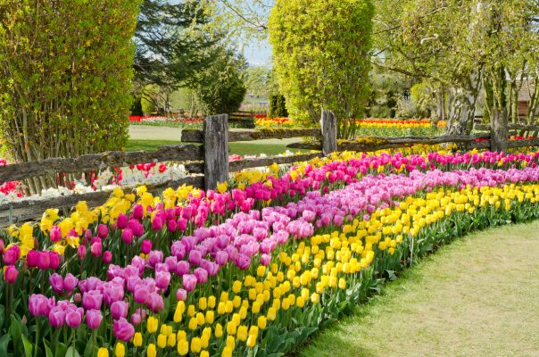 Тюльпаны посадка и уход в открытом грунте на урале весной