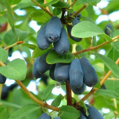 Съедобные плоды жимолости синего цвета