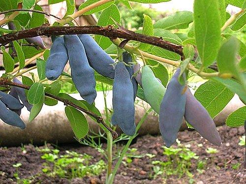 Сорт Амфора с крупными плодами