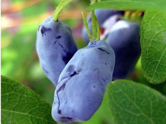 Сорт жимолости Золушка с синими ягодами