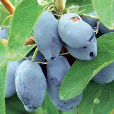 Вариант плодов жимолости сорта Фиалка
