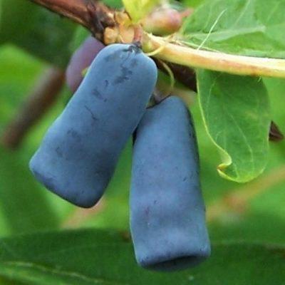 Плоды синего цвета жимолости Камчадалка