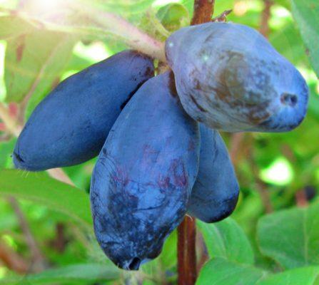 Жимолость сорта Сластена ягодами овальной формы