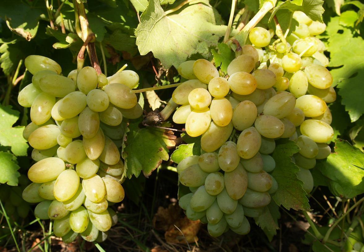 Сорт винограда Тимур — описание уход отзывы