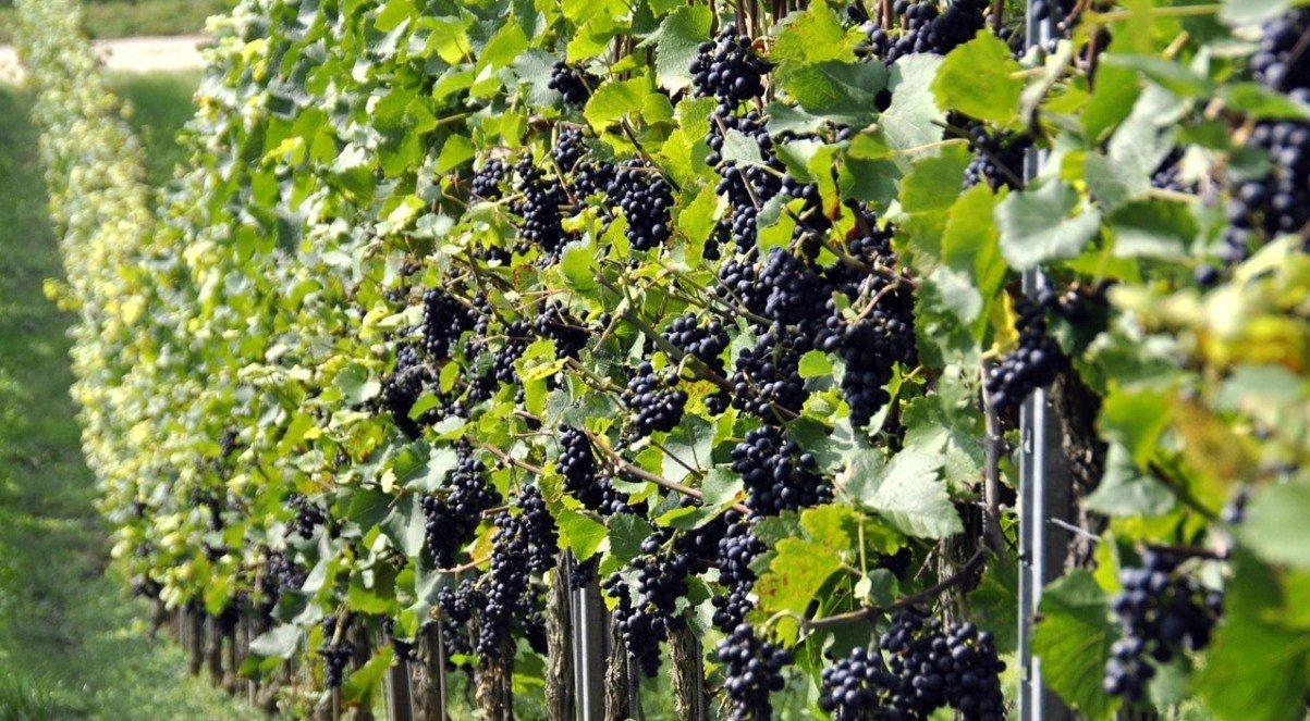 Как правильно обрезать виноград двухлетку осенью