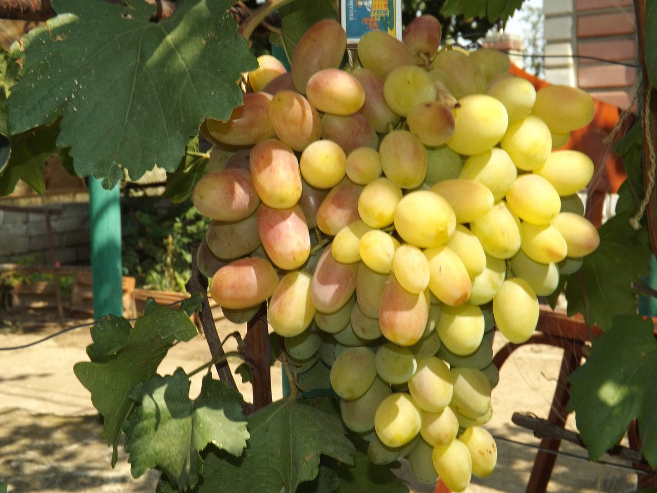 виноград юбилей новочеркасска описание сорта фото одно важное