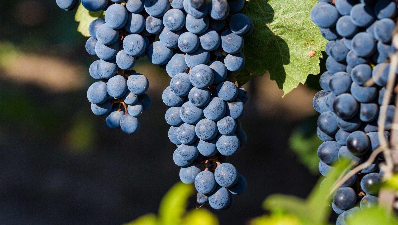Современный виноградник