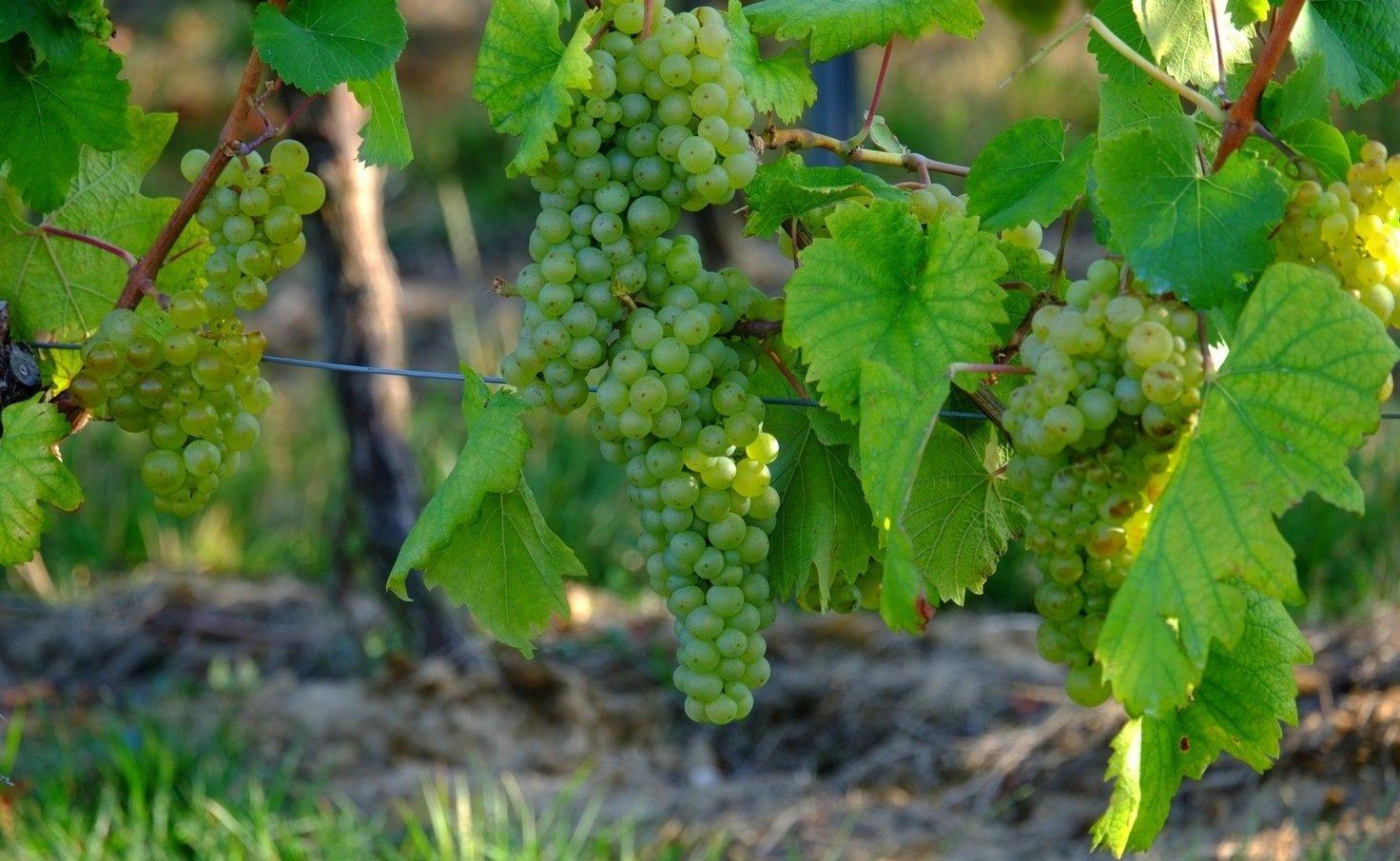 Подвязка винограда – делаем правильно и качественно