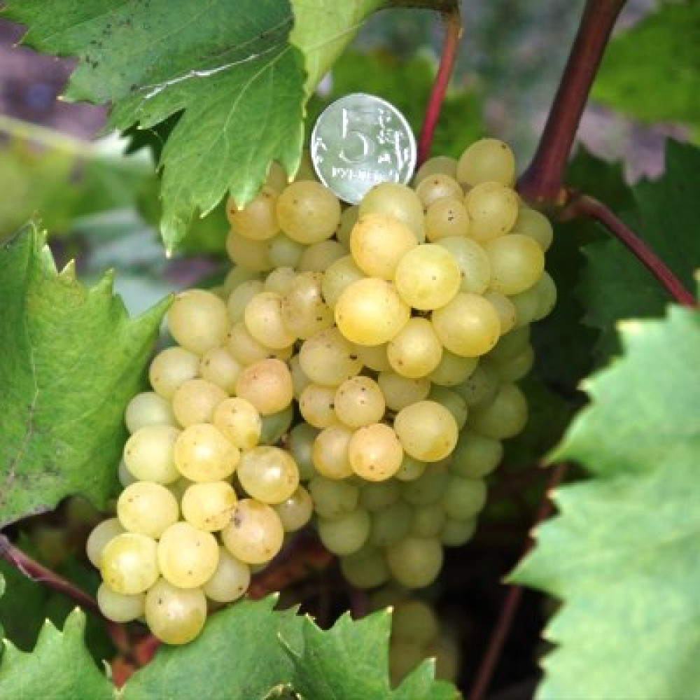 Виноград сорта кишмиш в средней полосе России. Какие сорта могут выжить в этих условиях?