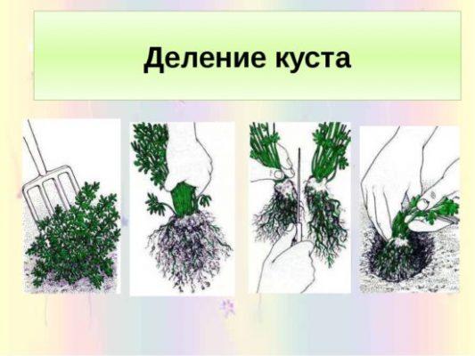 Как размножать делением куста