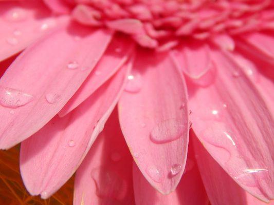 Капельки воды на цветке герберы