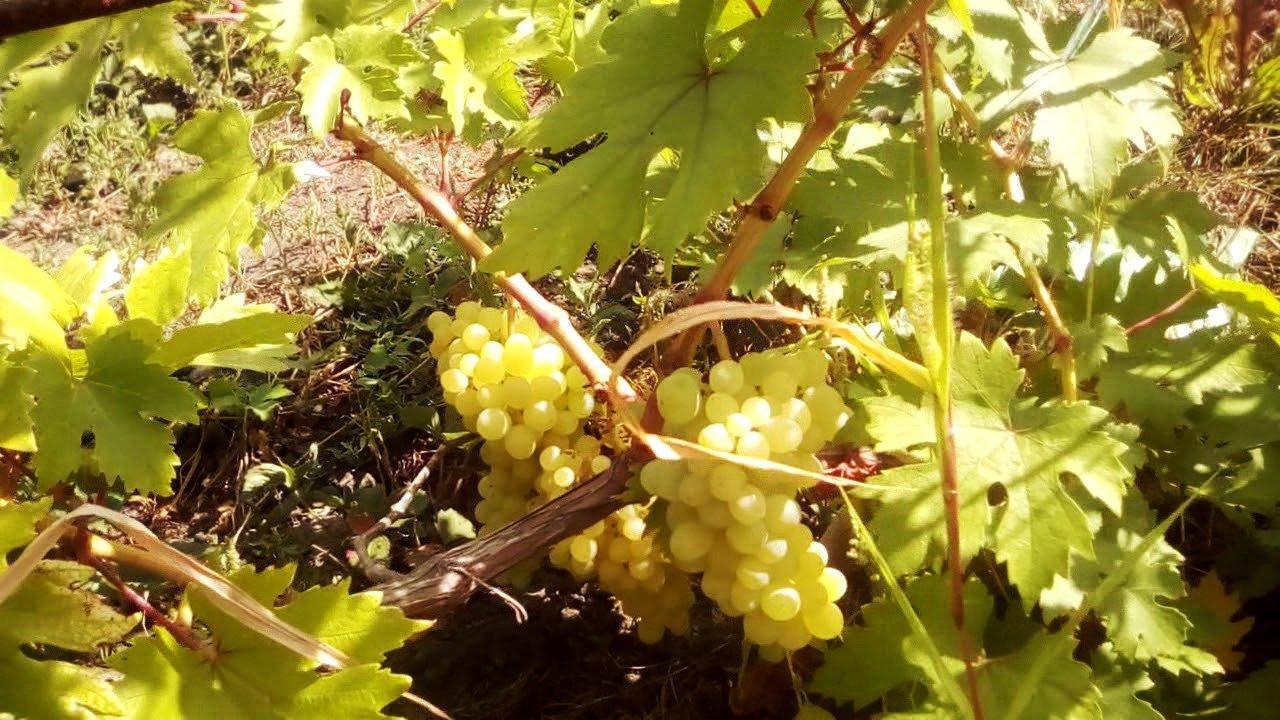 История селекции описание и характеристики сорта винограда Валек и особенности выращивания гибрида