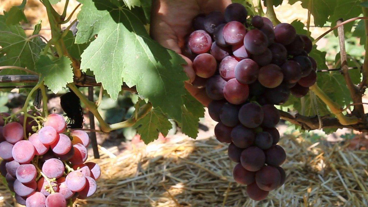 Виноград заостренный описание сорта фото