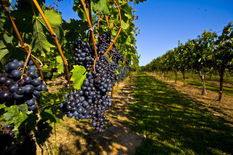 Посадка винограда в средней полосе России
