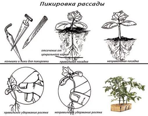 Пикировка сеянцев на примере помидора