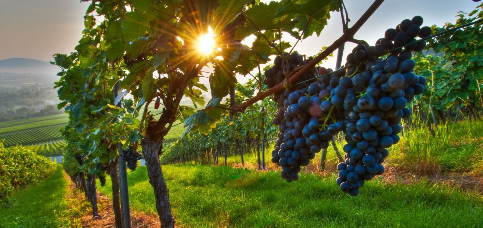 Виноград Бастардо описание и характеристики сорта выращивание и уход с фото