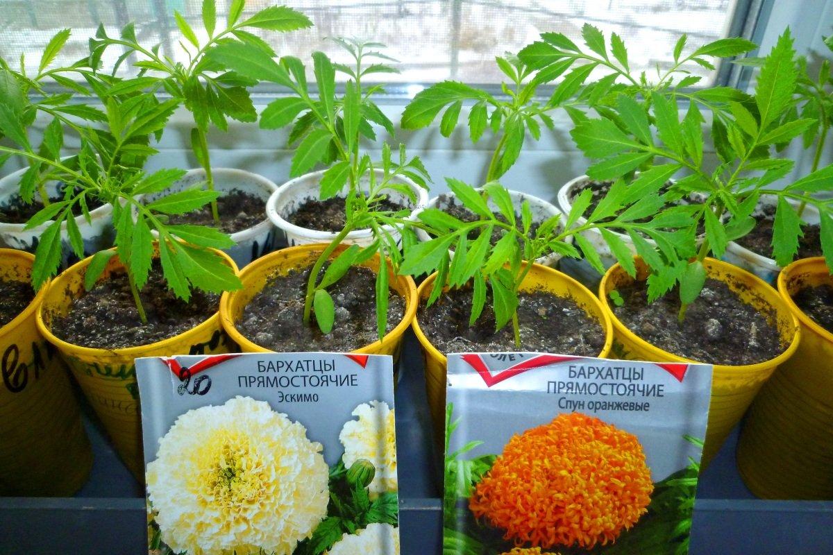 Когда высаживать на рассаду семена бархатцев 38