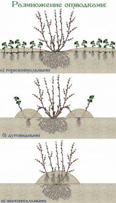 Размножение кустарника отводками
