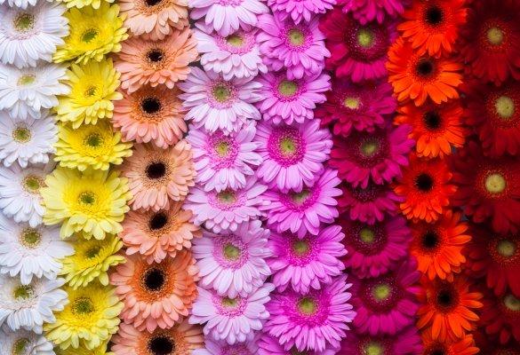 Разноцветные герберы