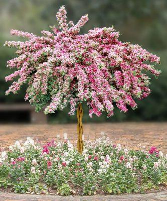 Розовая вейгела на штамбе