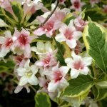 Вейгела пестролистная в цветах