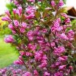 Вейгела Виктория в цвету