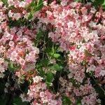 Вейгела японская с пышным цветом