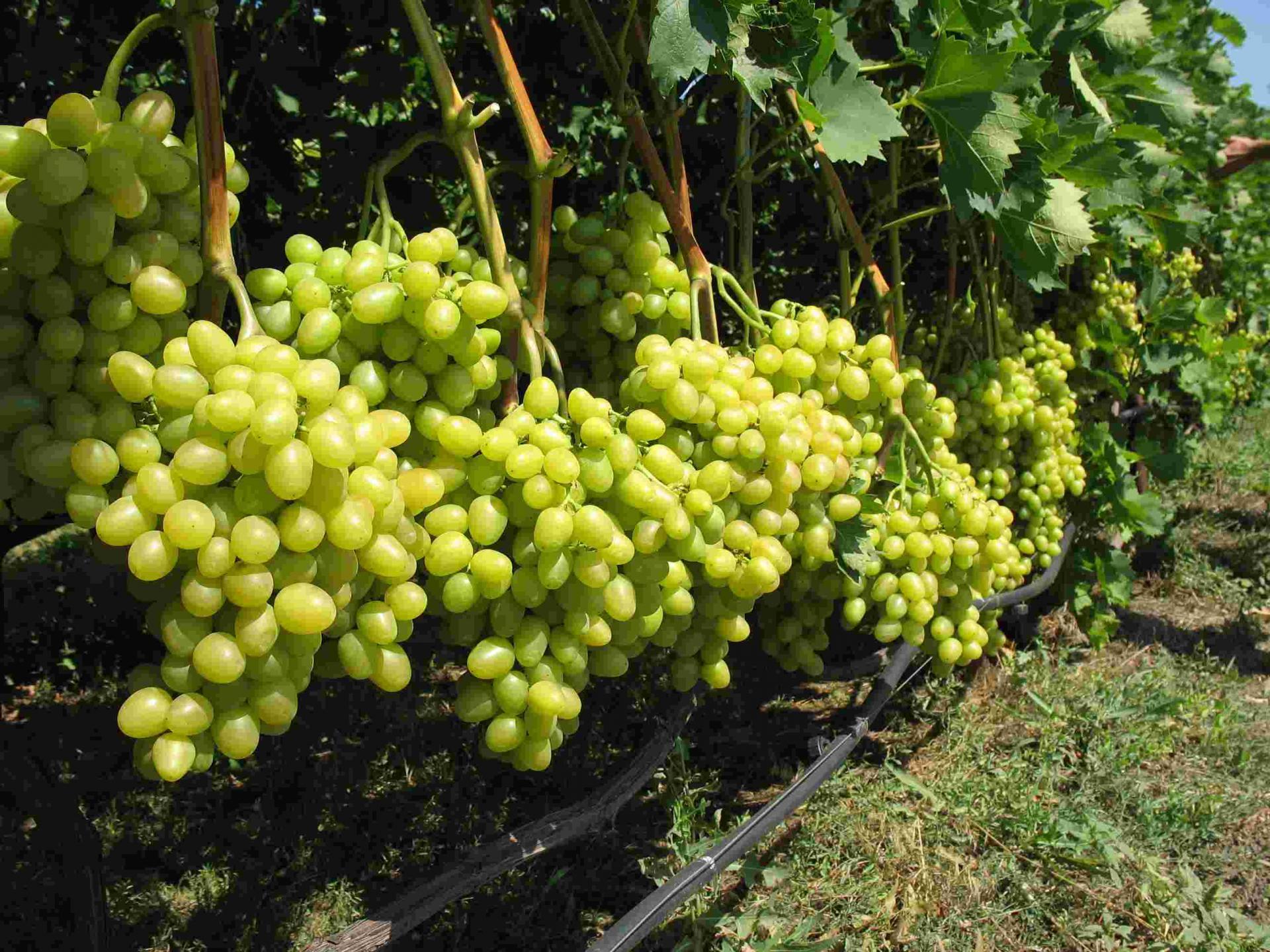 Столовый сорт винограда Аркадия описание и агротехника