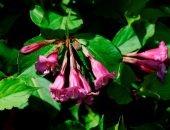 Яркая кустистая красавица - вейгела