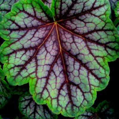 Декоративный лист гейхеры