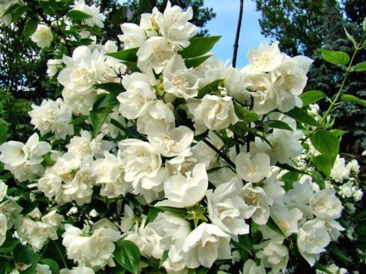 Обильное цветение жасмина