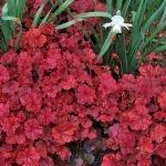 Огненно-красная гейхера