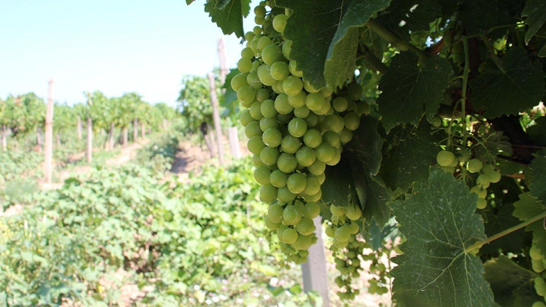 Подкормка винограда перед цветением: чем и как подкормить весной