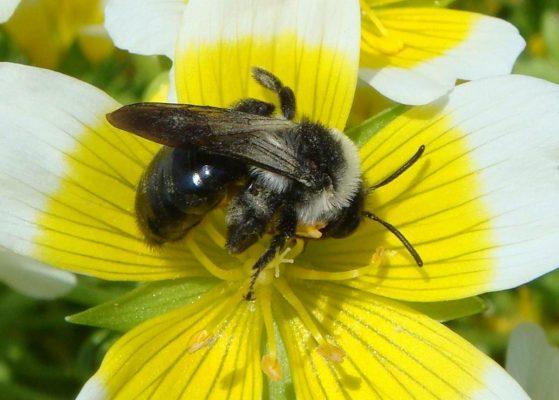 Пчела на лимнантесе