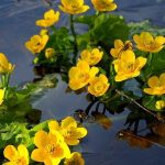 Цветы калужницы на воде