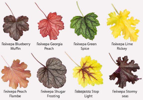 Разнообразие листьев гейхеры