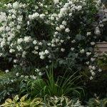 Садовый жасмин с хостой