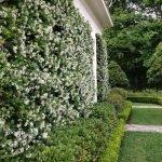 Садовый жасмин в качестве изгороди