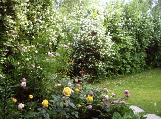 Садовый жасмин в ландшафтном дизайне