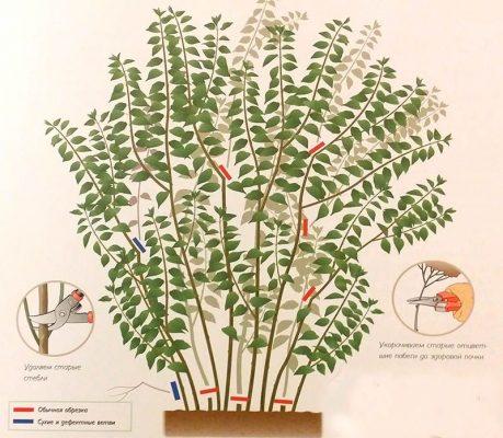 Схема обрезки чубушника после цветения
