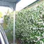Живая изгородь из садового жасмина