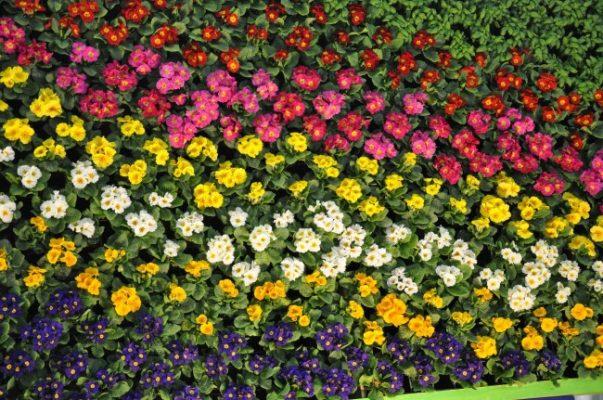Цветочный ковер из примулы