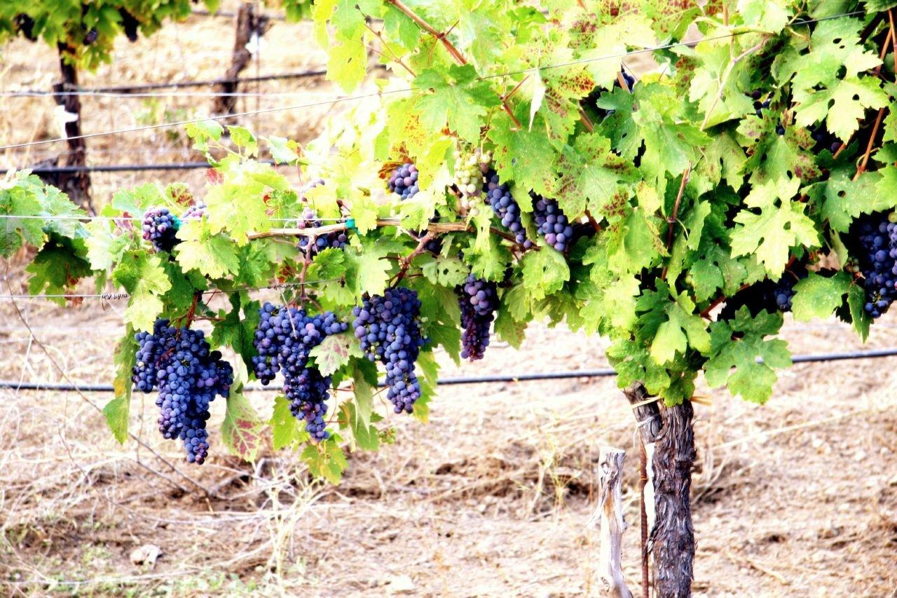Укутывание винограда на зиму