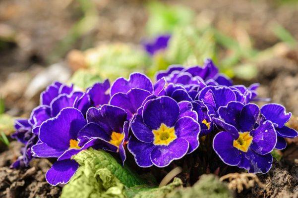 Примула многолетняя фиолетовая
